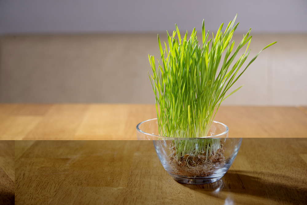 Wheatgrass Juice A Perfect Detox